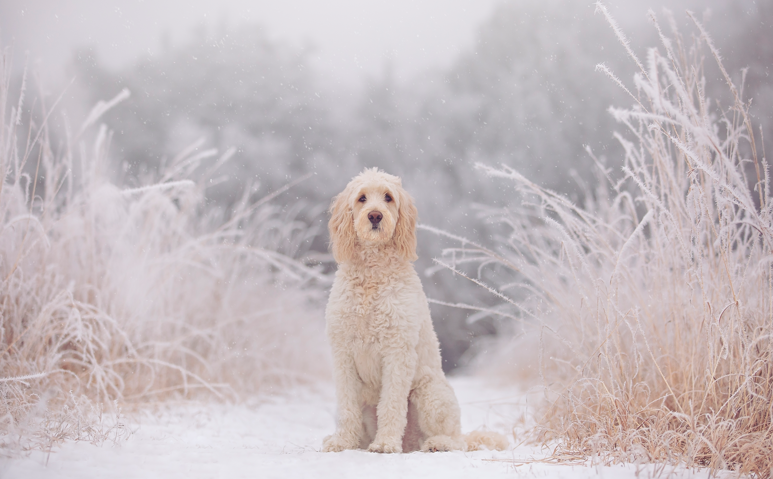 A cream colored Goldendoodle with a puppy cut sitting in a magical looking winter wonderland with snow and hoarfrost.
